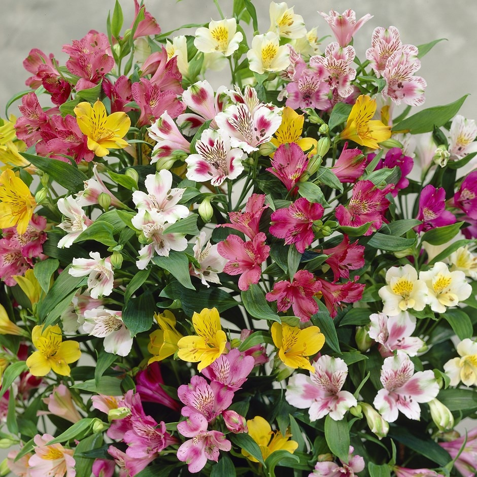 buy alstroemeria bulbs alstroemeria ligtu hybrids delivery by crocus. Black Bedroom Furniture Sets. Home Design Ideas