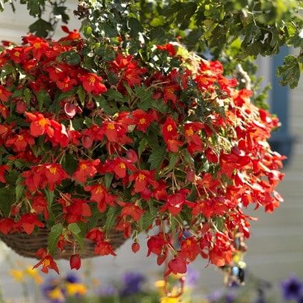 Begonia  ×  intermedia Bertinii