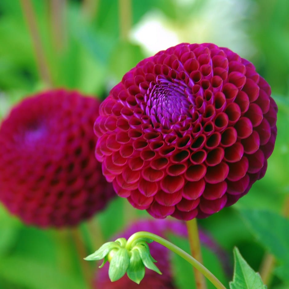 Buy Ball Dahlia Tuber Dahlia Downham Royal 163 3 99 Delivery