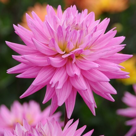 Dahlia Karma Pink Corona (PBR)