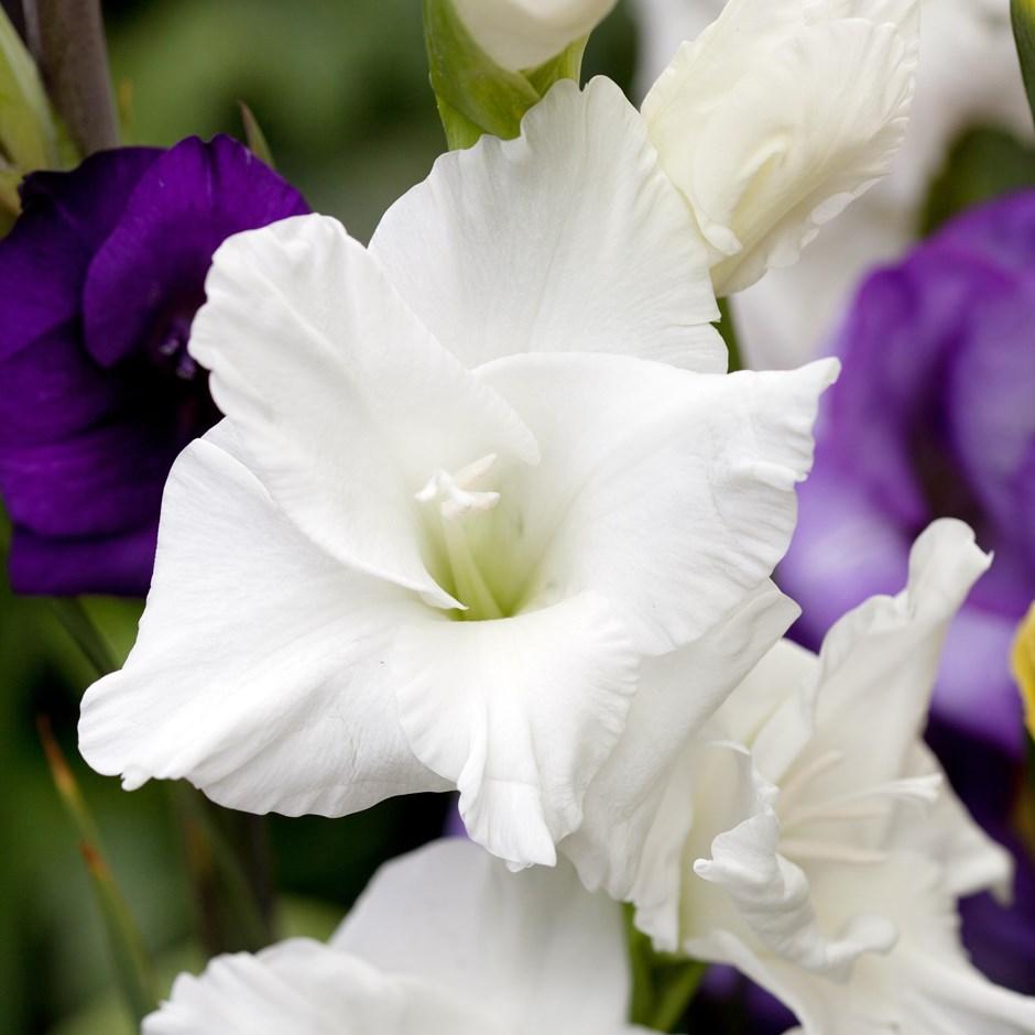 Buy gladioli bulbs gladiolus white prosperity 399 delivery by crocus gladiolus white prosperity mightylinksfo