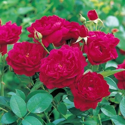 Rosa Darcey Bussell ('Ausdecorum') (PBR)