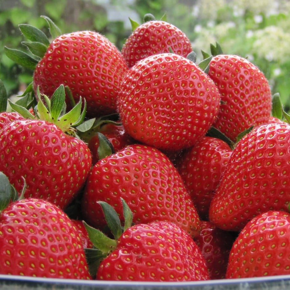 strawberry Sweetheart - mid season fruiting