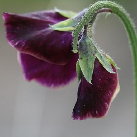 Lathyrus odoratus Beaujolais