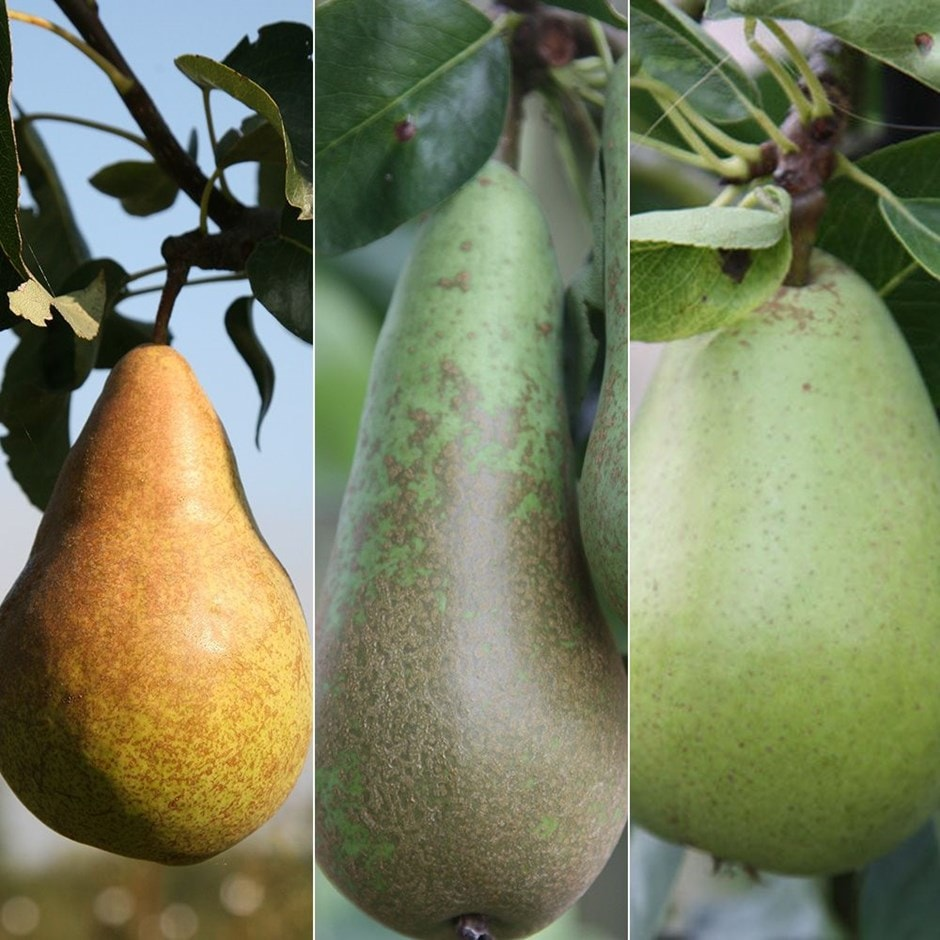 family pear Doyenne' Du Comice / Conference / Concorde