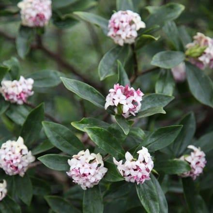 Daphne odora