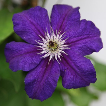 Clematis Happy Birthday ('Zohapbi') (PBR)
