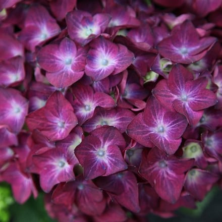 Hydrangea macrophylla Hot Red Violet
