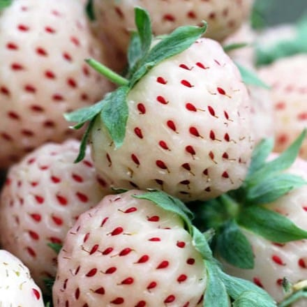 Fragaria ananassa pineberry White Dream