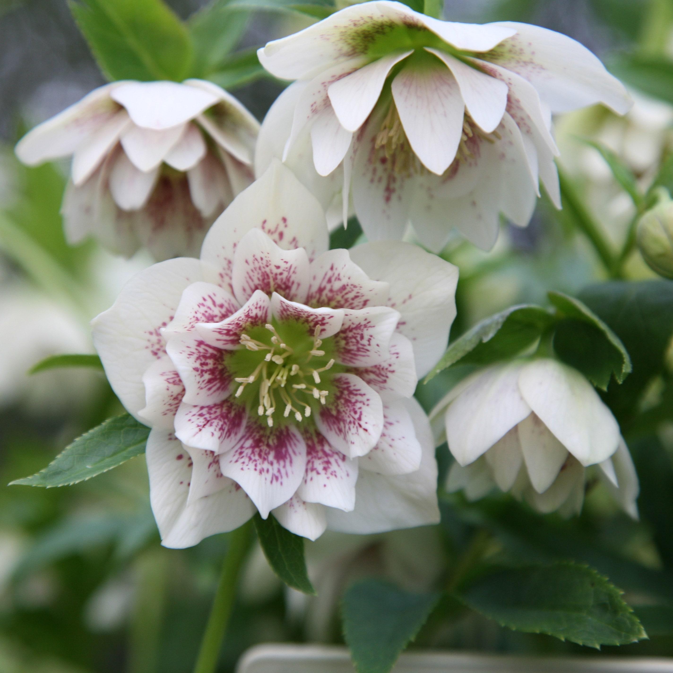 helleborus Hellebore orientalis  Pink Spot Single in a 2L pot