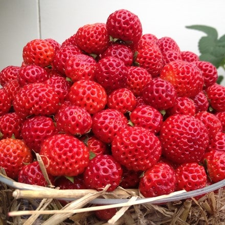 Fragaria × ananassa framberry Red Dream