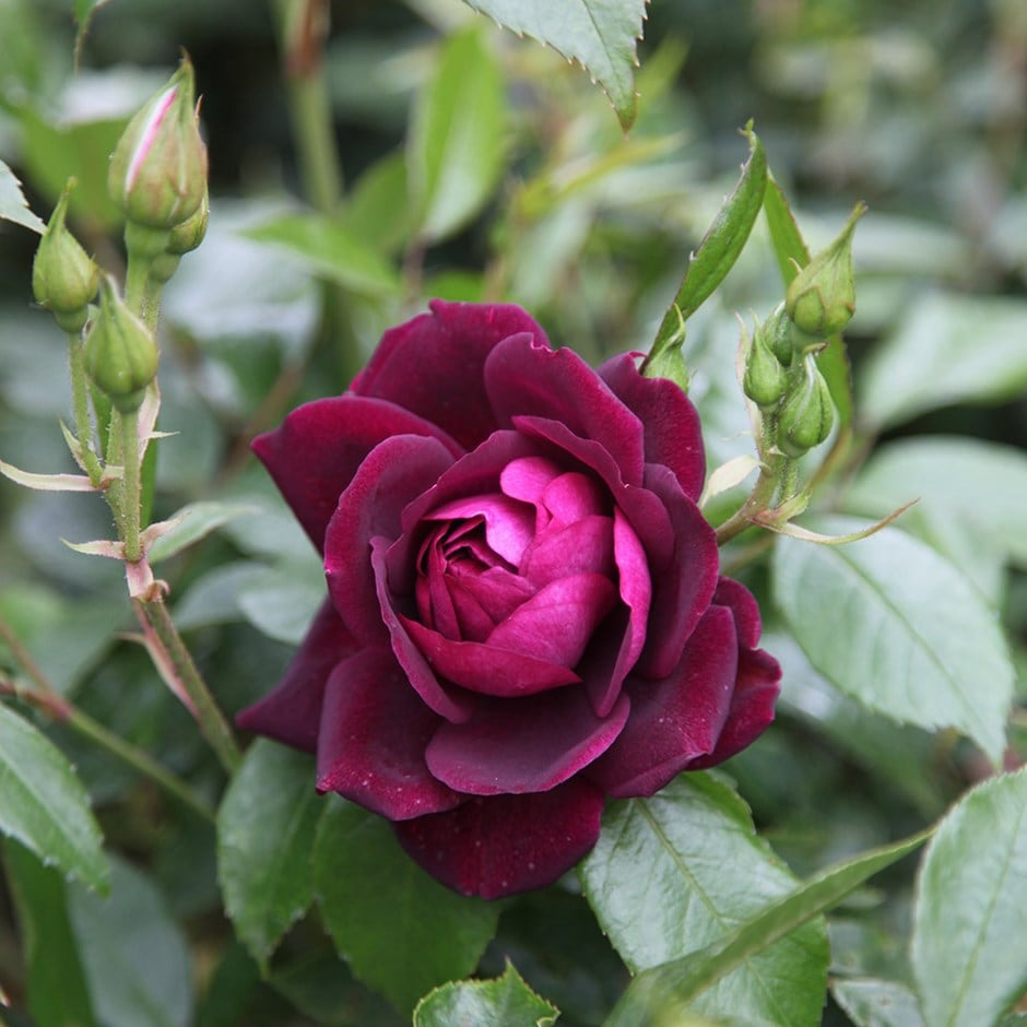 Picture of Live Rose (burgundy) aka Rosa x 'Burgundy Iceberg' Plant Fit 5 Gallon Pot