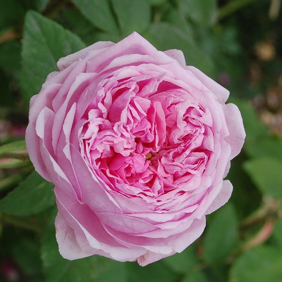 portland rose Comte de Chambord (Madame Boll)