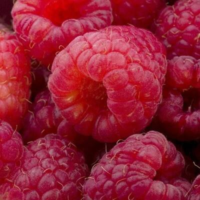 raspberry Erika (PBR)