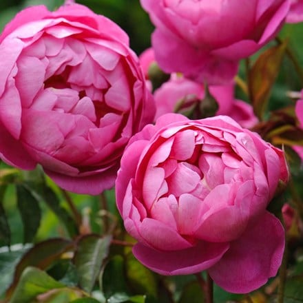 Rosa Royal Jubilee ('Auspaddle') (PBR)