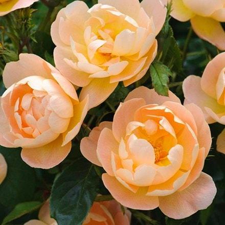 Rosa The Lark Ascending ('Ausursula') (PBR)