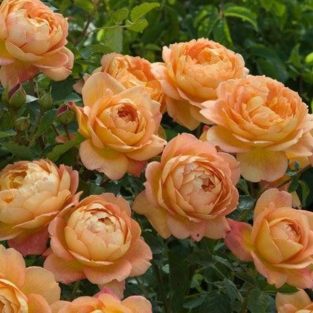 Rosa Lady of Shalott ('Ausnyson') (PBR)