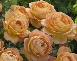 rose Lady of Shalott (shrub)