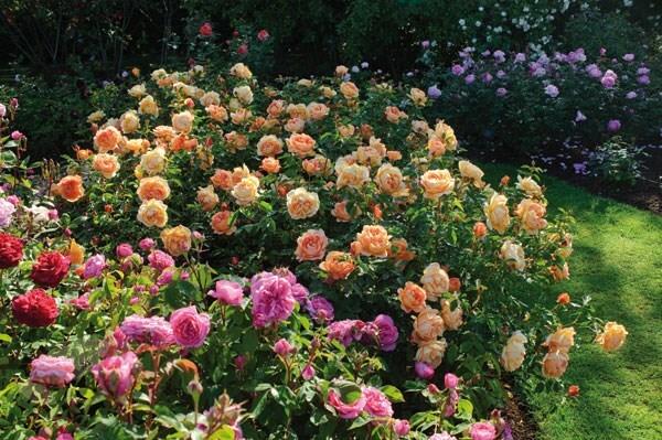 buy rose lady of shalott shrub rosa lady of shalott. Black Bedroom Furniture Sets. Home Design Ideas