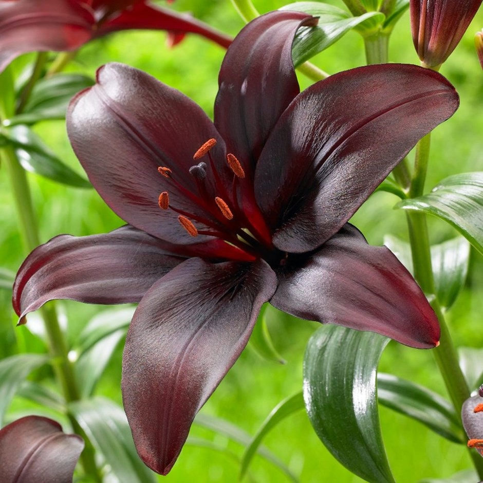 <i>Lilium</i> 'Dimension'