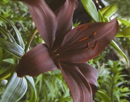 Asiatic lily bulb