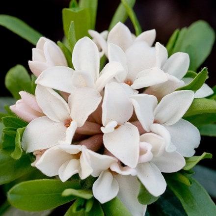 Daphne × transatlantica Eternal Fragrance ('Blafra') (PBR)