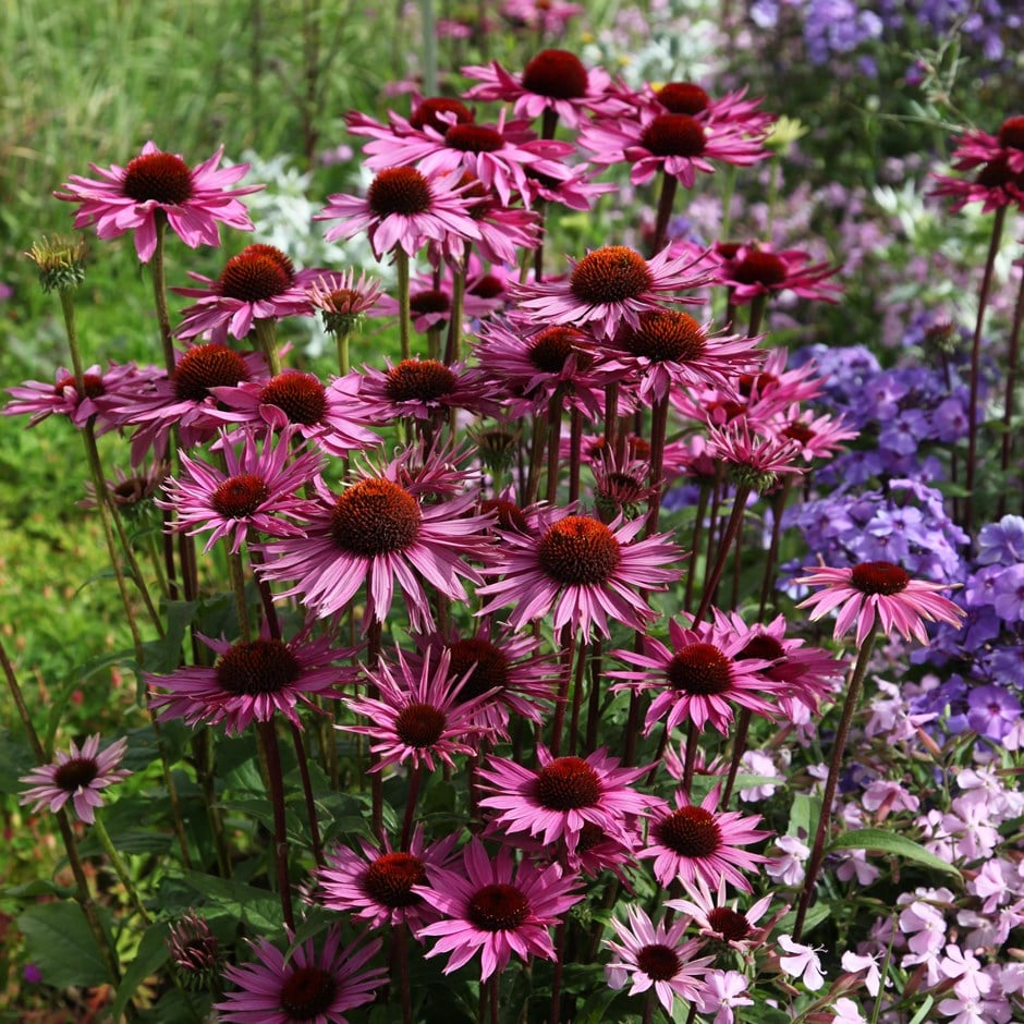 buy coneflower echinacea purpurea rubinglow delivery by crocus. Black Bedroom Furniture Sets. Home Design Ideas