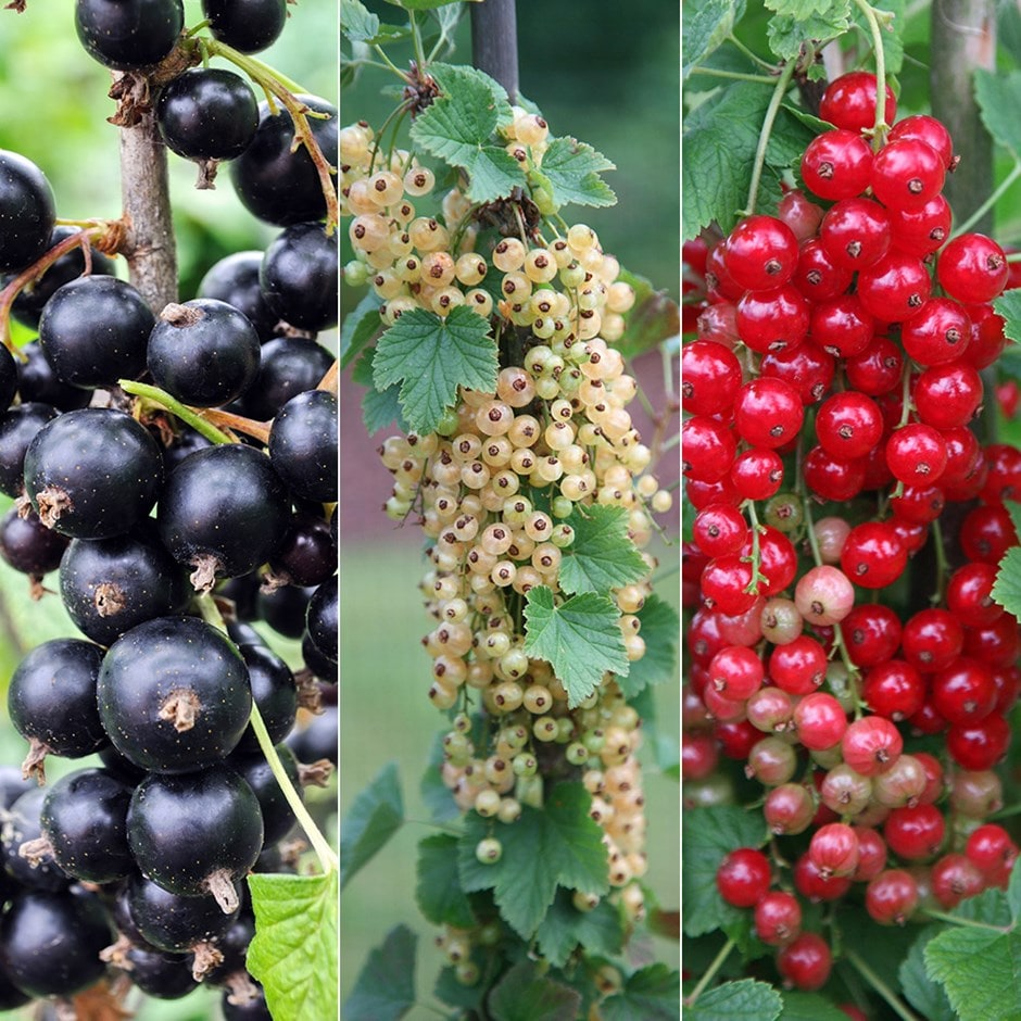 currant collection