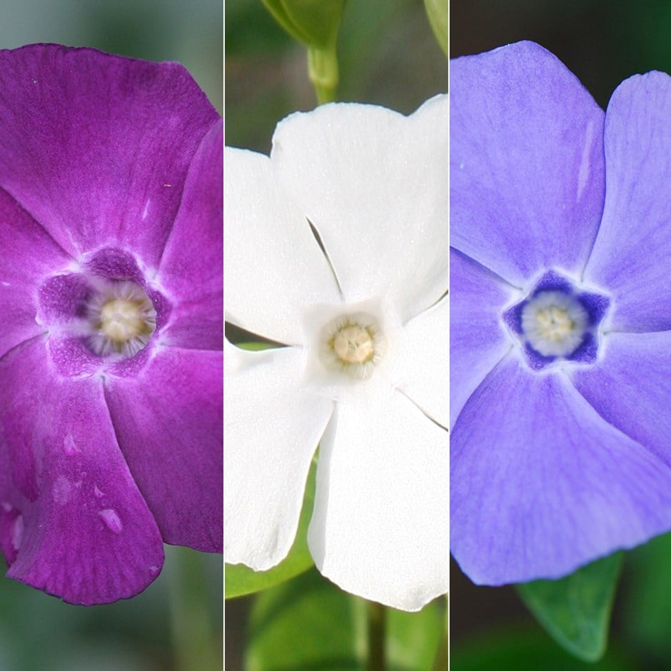 periwinkle collection