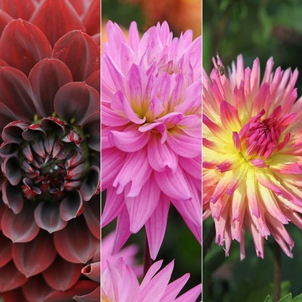 Karma series dahlia collection