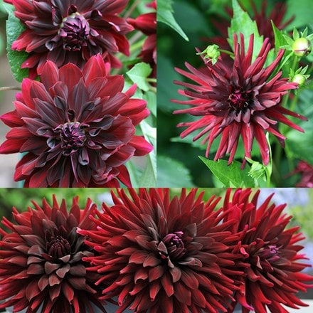 Dark flowered dahlia collection