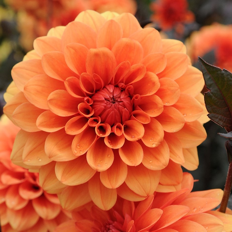 Buy Decorative Dahlia Tuber Dahlia David Howard 163 3 99