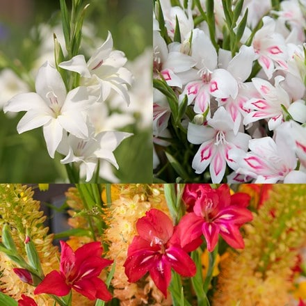 Gladioli collection miniatures