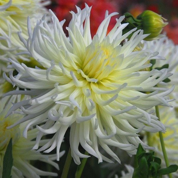 Buy semi cactus dahlia tuber dahlia white star 399 delivery by crocus dahlia white star mightylinksfo