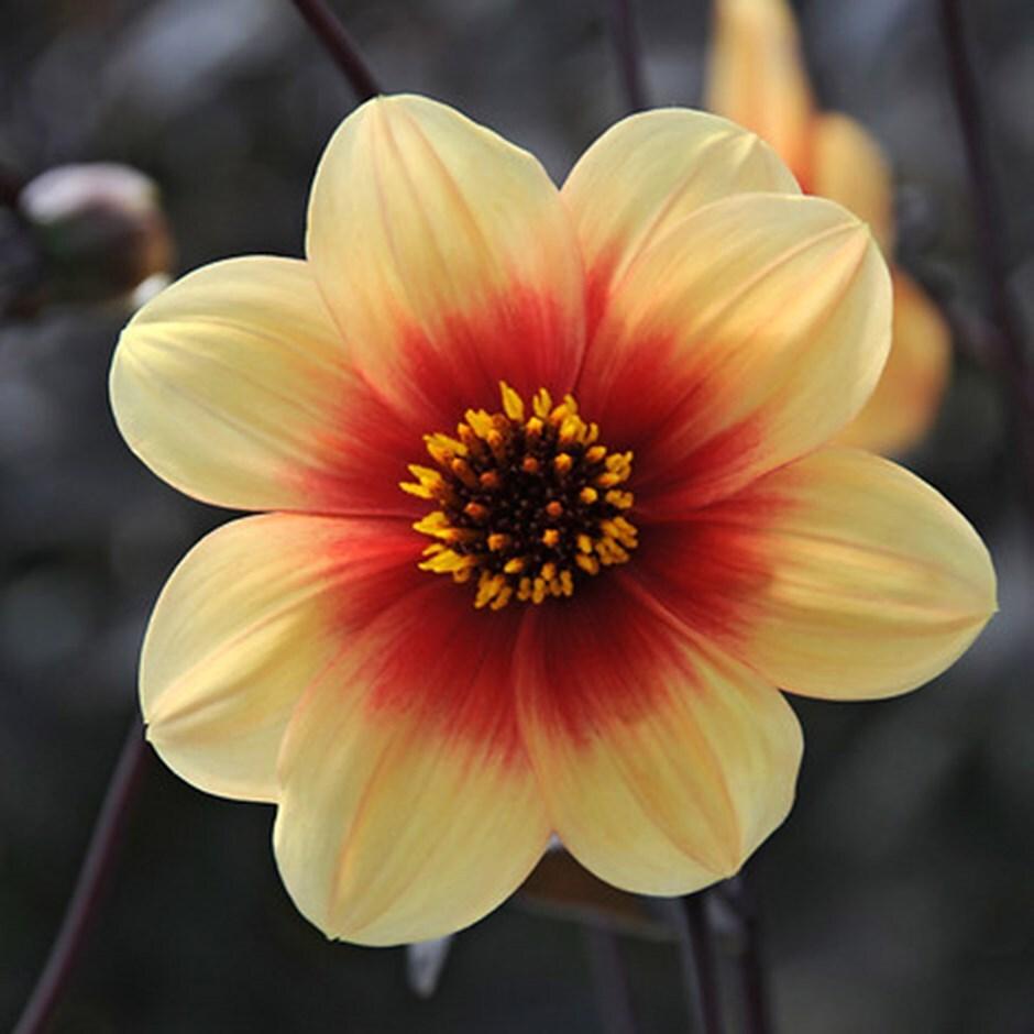 single dahlia tuber  - Syn Dahlia 'Sunshine'