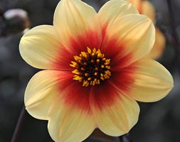 single-flowered dahlia tuber  - Syn Dahlia 'Sunshine'