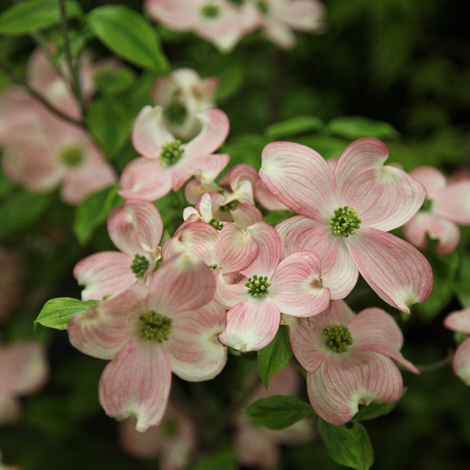 the taxonomic classification for the flowering dogwood Plant taxonomy is the science  classification , naming, criteria  a generic model for flowering phenology as a function of daily temperature and photoperiod was.