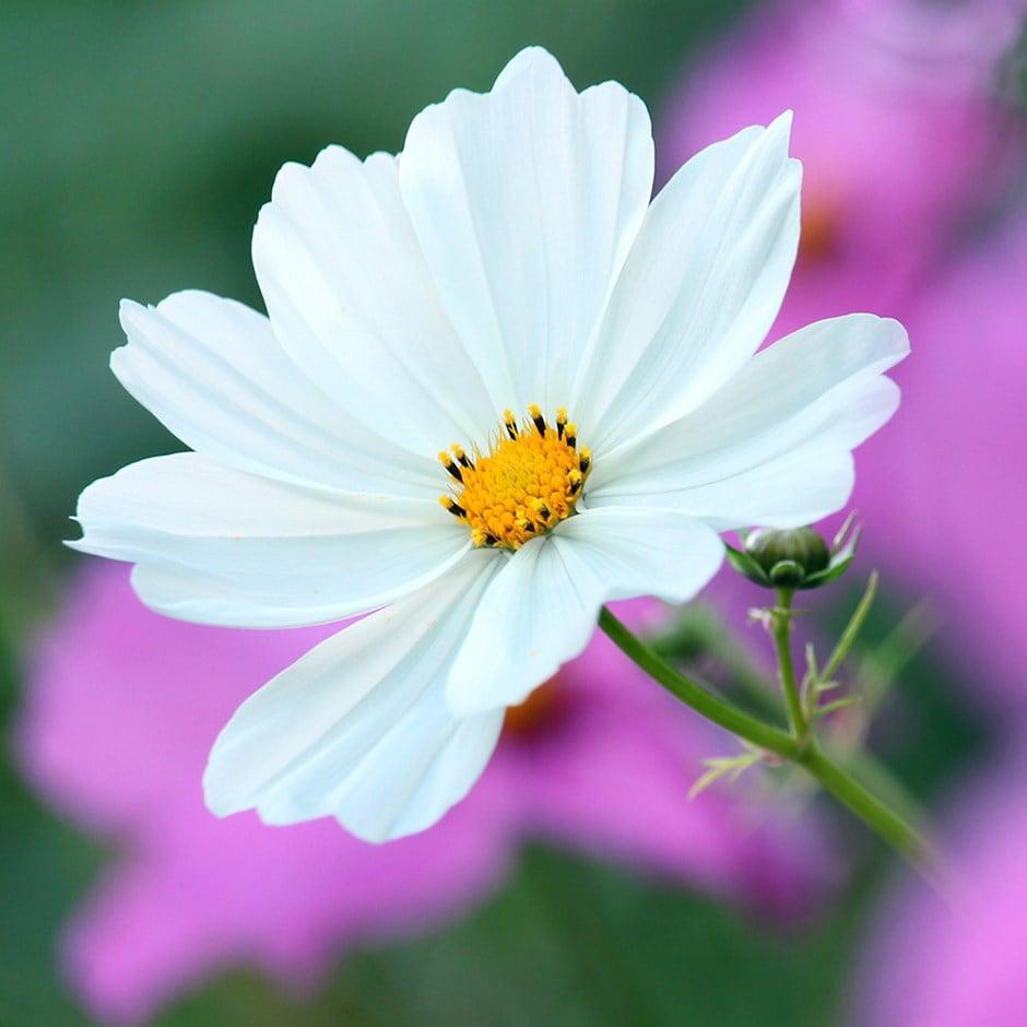 Buy 40 Plus 20 Free Large Plug Plants Cosmos Bipinnatus Purity