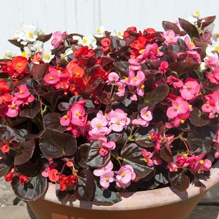 Begonia Devil's Delight (Mixed) (Devil Series)