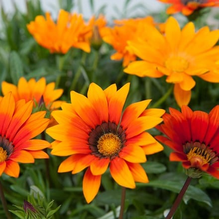 Gazania Sunburst Mixed