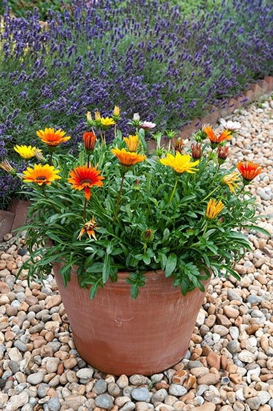 <i>Gazania</i> 'Sunburst Mixed'