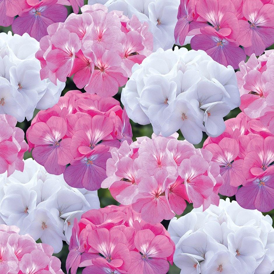 Buy 40 Plus 20 Free Plug Plants Geranium Candyfloss Mixed