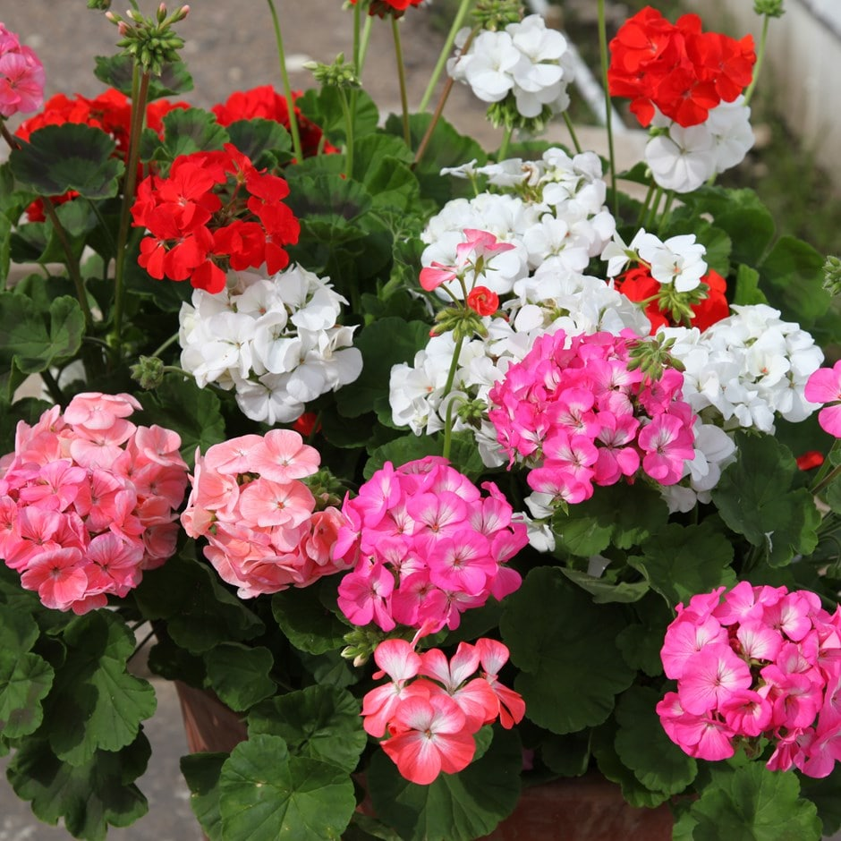 <i>Geranium</i> 'Showstopper Mixed'