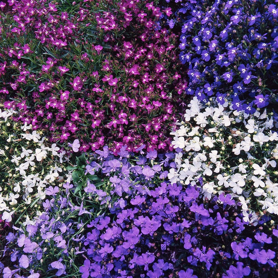 Buy 40 Plus 20 Free Large Plug Plants Lobelia Bedding Mixed 1899