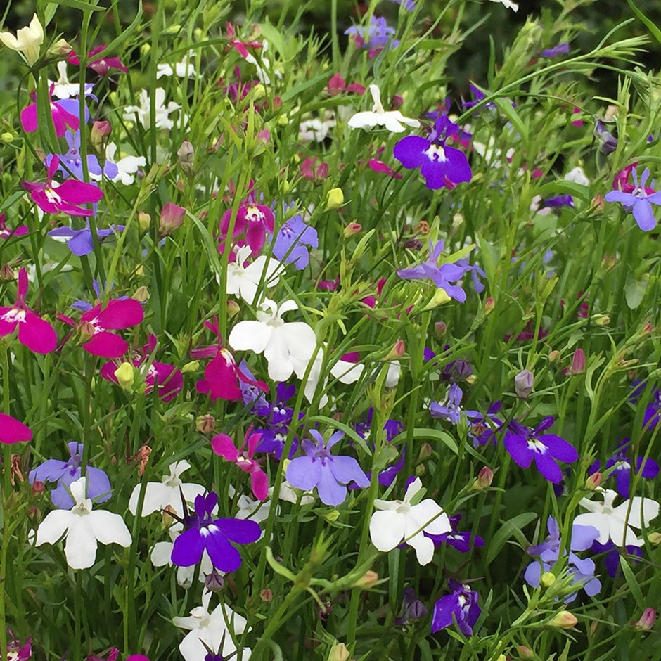 Buy 40 Plus 20 Free Large Plug Plants Lobelia Trailing Mixed 1799