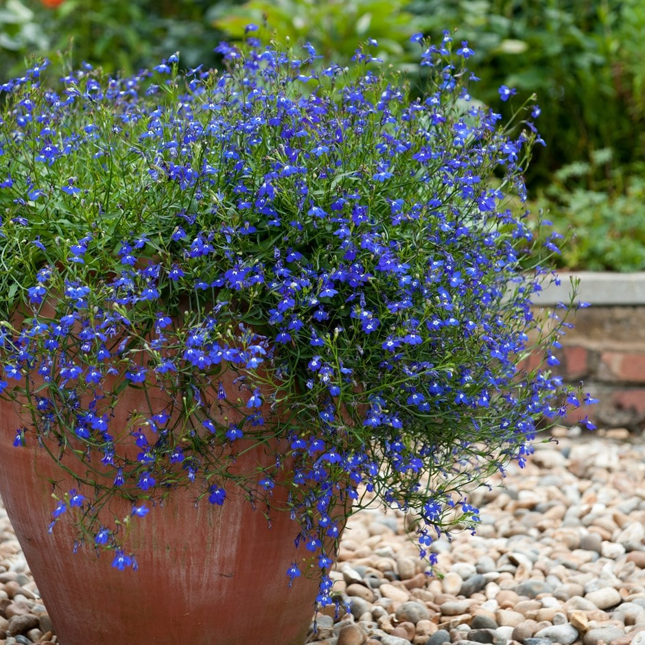 Buy 40 Plus 20 Free Large Plug Plants Trailing Lobelia Lobelia
