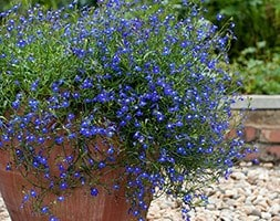40 plus 20 FREE large plug plants - trailing lobelia