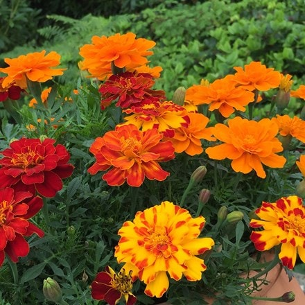 Marigold French Fancy
