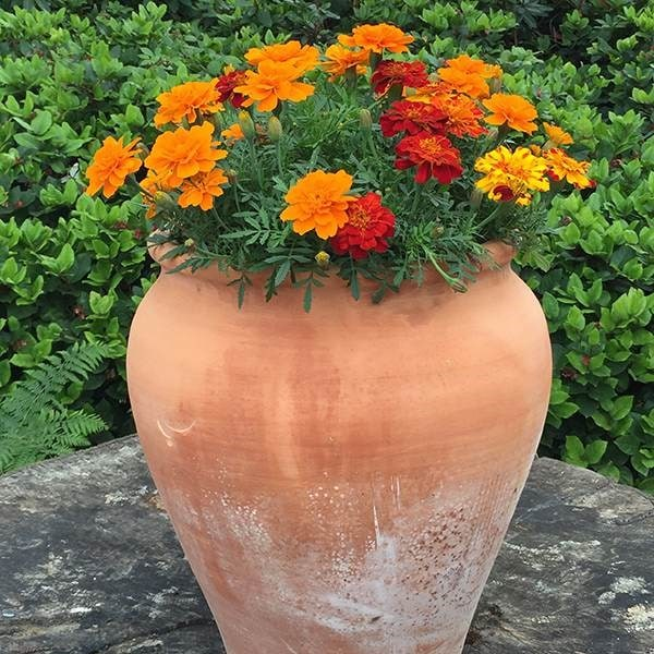 <i>Marigold</i> 'French Fancy'