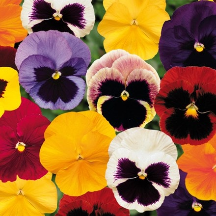 Pansy Matrix F1 Spring Select Mixed